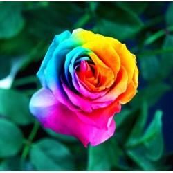 Szivárvány rózsa magok (200db mag)