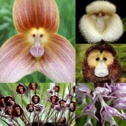 Majom orchidea magok - 20 db
