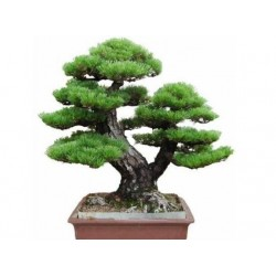 Japán PINE TREE Bonsai