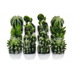 Dísz kaktusz - 1 db - 10-12 cm