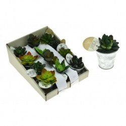 Dekoratív pozsgás növény - 9-11 cm - 1 db